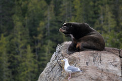 Zalophus californianus and Larus glaucescens. A sea lion and a seagull side by side in British Columbia, Canada Stock Photography