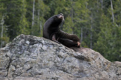Zalophus californianus. A sea lion on a rock in British Columbia, Canada Royalty Free Stock Photo