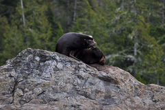 Zalophus californianus. A sea lion on a rock in British Columbia, Canada Royalty Free Stock Image