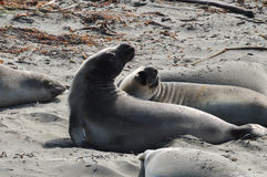 Zalophus Californianus. Two California Sea Lions fighting at Big Sur Royalty Free Stock Photos