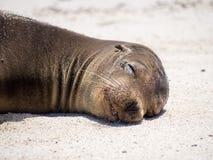 zalophus wollebaeki моря льва galapagos Стоковые Изображения