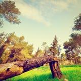 złamany drzewo Obrazy Royalty Free