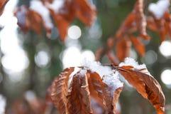 Zamarznięci buków liście przy zima czasem Obrazy Royalty Free