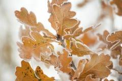 Zamarznięci dębów liście na zima ranku zdjęcia royalty free