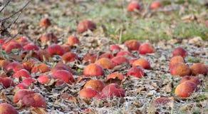 Zamarznięci jabłka w jabłczanym sadzie na wczesnym pogodnym Grudnia morinig zdjęcie royalty free