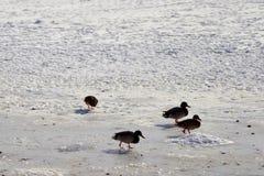 Zamarznięci ptaki na śniegu Obraz Stock