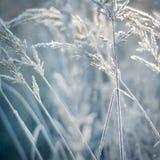 Zamarznięci ucho, rośliny mroźna ranek natury opadu śniegu zima Zdjęcie Royalty Free