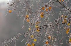 Zamarznięta brzoza na mgłowym dniu fotografia royalty free