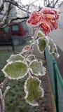 Zamarznięta czerwieni róża zakrywająca z lodowymi kryształami Zdjęcia Royalty Free