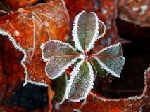 Zamarznięta cztery liści koniczyna Fotografia Royalty Free