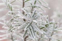 zamarznięta drzewna zima Makro- strzał Zdjęcia Royalty Free