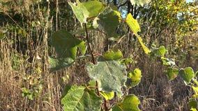 Zamarznięta młoda drzewo liści glosa w świetle słonecznym w jesieni Handheld 4K zbiory