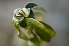zamarznięta roślina Fotografia Stock