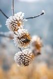 Zamarznięta roślina zakrywająca z hoarfrost Obraz Stock