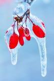 Zamarznięta rosehip gałąź w zimie Zdjęcia Royalty Free