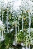 Zamarznięta sosna rozgałęzia się w zimie Obrazy Royalty Free