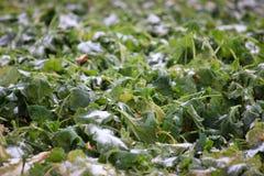 Zamarznięta zima na polu śnieg kłama na zielonych liściach Ampuły zieleni pole zdjęcia stock