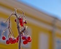 Zamarznięte czerwone jagody zakrywać z mrozem halny popiół Fotografia Stock
