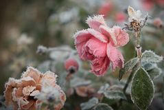 Zamarznięte czerwone róże Zdjęcia Royalty Free