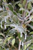 Zamarznięte gałąź i liście obramowani w lodzie Zdjęcie Stock