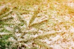 Zamarznięte iglaste gałąź w pierwszy śniegu pogodny zdjęcia stock