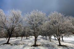Zamarznięte jabłonie w zimie Zdjęcie Royalty Free