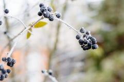 zamarznięte jagody na lód zakrywającym Bush Zdjęcia Royalty Free