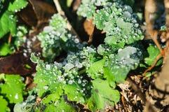 Zamarznięte krople lód na zielonych liściach trawa miękkie ogniska, fotografia stock