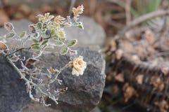zamarznięte róże Obraz Royalty Free