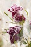 zamarznięte róże Zdjęcia Royalty Free