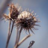 Zamarznięte rośliny w wczesnego poranku zakończeniu up w zimie Obrazy Royalty Free