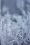 Zamarznięte rośliny, zimy tło Obrazy Stock