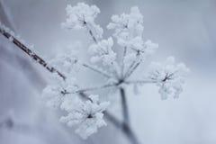 Zamarznięte rośliny, zimy tło Obraz Royalty Free