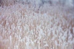 Zamarznięte rośliny, zimy tło Fotografia Royalty Free