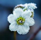 Zamarznięty biały kwiat Obrazy Royalty Free