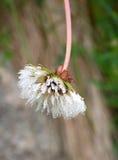 Zamarznięty dandelion kwiat obraz royalty free