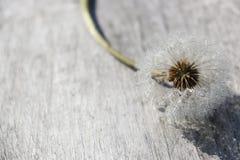 Zamarznięty dandelion, spojrzenia jak zima obrazy stock