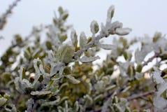 Zamarznięty krzak w zimie, Sosnowa dolina, Kalifornia zdjęcia royalty free