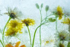 Zamarznięty lato kwitnie w highkey backlight obraz stock