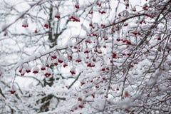 Zamarznięty rowanberry pod śniegiem Obrazy Stock