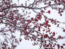 Zamarznięty rowanberry pod śniegiem Obraz Stock