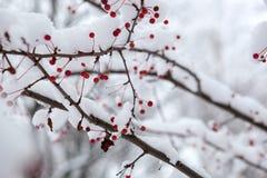 Zamarznięty rowanberry pod śniegiem Zdjęcie Royalty Free