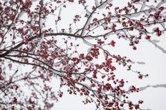 Zamarznięty rowanberry pod śniegiem Zdjęcia Royalty Free