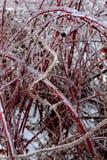 Zamarznięta Czerwona malinka Zdjęcie Royalty Free