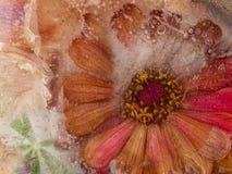 Zamarznięty czerwony kwiat Zdjęcie Royalty Free