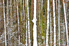 Zamarznięty las Obraz Stock