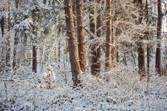 Zamarznięty las Zdjęcia Stock