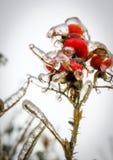 Zamarznięty rosehip Fotografia Royalty Free
