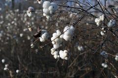 Zamarznięty snowberry biel Obrazy Royalty Free