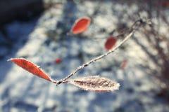 Zamarznięta zimy gałąź z pomarańczowym liściem Zdjęcia Stock